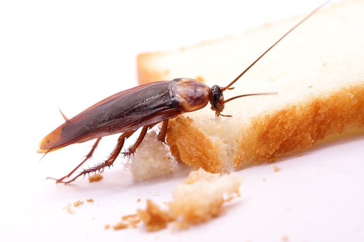 29391183 – cockroach on a slice of bread
